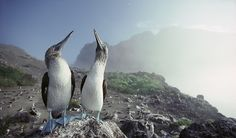 Galapagos Archipelago: Home to the Boobies - Australian Geographic