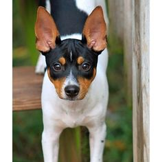 The Rat Terrier is a multipurpose companion dog that is capable of hunting rodents and vermin above and below ground as well as coursing small game. He is a sturdy, compact, small-to-medium sized parti-colored dog giving the appearance of elegance and athleticism. His short, smooth coat may come in any variation of pied patterning. Pied is described as comparatively large patches of one or more colors in combination with white.