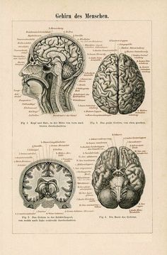 Framed Print Antique 1894 German Anatomy Picture Human Brain (Medical Art) is part of Science Wallpaper Anatomy - Medical Drawings, Medical Art, Brain Illustration, Medical Illustration, Art Illustrations, Human Brain Anatomy, Medical Wallpaper, Brain Art, Human Figure Drawing