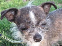 Margarita is an adoptable Chihuahua Dog in Dewitt, NY. One word: adorable! This tiny girl was surrendered to us after being left on someone's porch. We hope thather humansloved her for her 8 years, ...