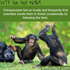 Chimpanzee's fart - WTF fun fact