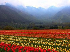 Tulip Festival – It's a haven for horticulture enthusiasts! Kashmir celebrates the Tulip Festival in the capital of Srinagar, home to the largest Tulip garden in Asia.
