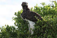 Martial Eagle, Kruger National Park, April 2014