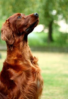 Irish red setter - met some of these yesterday, along with a woman who both deals with rescues and breeds them. i think we have found a winner ladies and gents. i think this is our dog for Christmas.