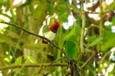 dsc1556king-bird-paradisecicinnurus-regiussalawatiwest-papua4-06-2011bvanelegemblur-cr.jpg 800×533 pixels