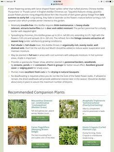 Alchemilla Mollis, Japanese Anemone, Purple Candles, Astilbe, Late Summer, Light Shades, Purple Flowers, Garden, Garten