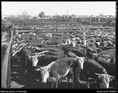 Cattle auction at saleyards, New South Wales between 1910 and 1962.   by  Frank Hurley, Australian photographer