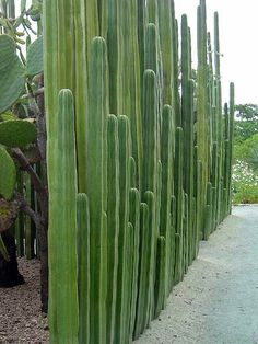 Cacti fence. Looks quite effective.