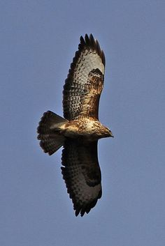 Buzzard.....unbelievably this morning as I pegged my washing on the line...a pair of buzzards were circling overhead then gradually circled over the fields towards the church spire. I have never seen them in this part of Essex .