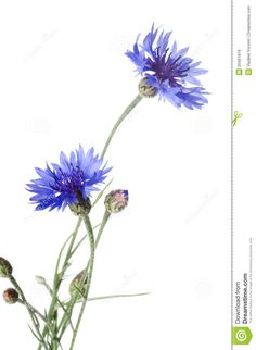 Beautiful Blue Cornflower Royalty Free Stock Image - Image: 20461816