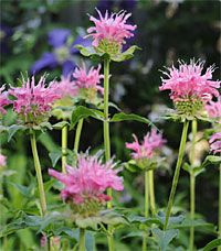 ~Attracting Beneficial Bees~ Gardeners can help counter the decline in pollinator populations. Bee balm is one of many flowers that beneficial bees love. Bee Friendly Flowers, Types Of Bees, Raising Bees, Raising Chickens, Beneficial Insects, Save The Bees, Salvia, Zinnias, Garden Supplies
