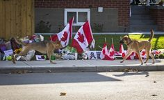 Dogs belonging to the deceased Cpl. Nathan Cirillo run by a makeshift memorial outside the Cirillo family home in Hamilton October 24, 2014.  REUTERS-Mark Blinch