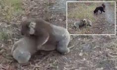Cute koalas wrestling