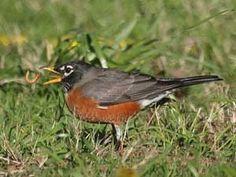 American Robin The Great Backyard Bird Count by Errol Taskin