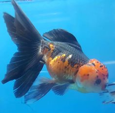 MY new fish! I won him from Coast Gem USA. Oranda with pom pom