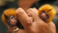 SMALLEST | Smallest Monkey in the World Images & Photos 2012 | Funny Animals