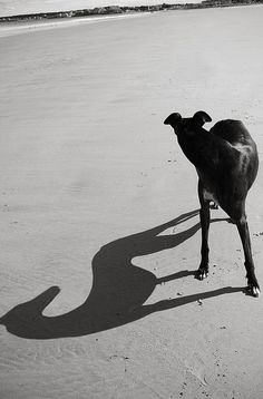 svelte greyhound, in motion even when standing still.            (brieburkhart on Flickr)