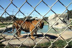 Natasha the tiger