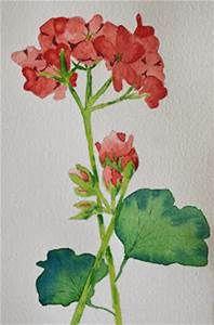 Watercolor Paintings of Geraniums - Bing images