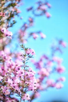 Erica canaliculata 杜鵑花科, 歐石楠屬, 聖誕歐石楠