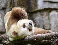 「露」:世界に一頭だけのブラウンパンダ 「七仔」(チーザイ:Qizai)世界でたったの一頭しかいない  ブラウンパンダ