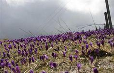Вот оно весеннее пробуждение шафранов на горных склонах Закарпатской области