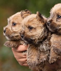 Find Cairn Terrier Puppies in your area and helpful tips and info. All purebred Cairn Terrier puppies are from AKC registered parents. Norwich Terrier Puppy, Cairn Terrier Puppies, Terrier Mix, Love My Dog, Cute Puppies, Cute Dogs, Dogs And Puppies, Doggies, Cairns