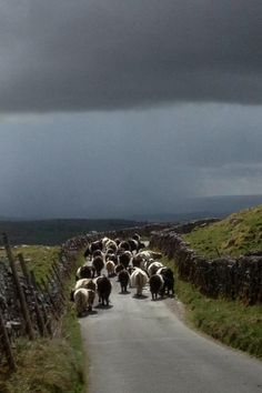pagewoman: Belted Galloway, Malham, Airedale, North Yorkshire, England (Hill Top Farmgirl)