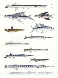 Vintage Fish Print 1950 7 Cypsilurus Sail by MarcadeVintagePrints, €10.10