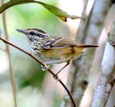 Cantador-ocráceo (Hypocnemis ochrogyna): espécie ameaçada de extinção. Endangered specie. Foto: Valmir Cordasso | Wiki Aves - A Enciclopédia das Aves do Brasil