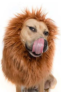 Lion Mane Costume and Big Dog Lion Mane Wig. Fits necks (Think Beagle/Cattle Dog to Great Pyrenees/Mastiff NB. Dog Costumes give back a portion of the purchase to multiple New Orleans animal shelters Large Dog Costumes, Dog Halloween Costumes, Pet Costumes, Costume Ideas, Halloween Ideas, Halloween Parties, Halloween 2018, Halloween Outfits, Cosplay Ideas