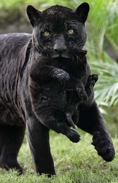 Post with 3183 votes and 131919 views. Tagged with cats, aww, kittens, meow, roar; Shared by Momma cats and their kittens! Cute Baby Animals, Animals And Pets, Funny Animals, Wild Animals, Animals Photos, Nature Animals, Rainforest Animals, Black Animals, Beautiful Cats