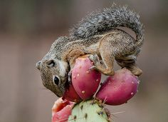 DESERT SQUIRREL, eating prickly pear fruit off the prickly pear cactus. Tucson, Arizona Ground Squirrel, Baby Squirrel, Types Of Animals, Cute Animals, Wild Animals, What Do Squirrels Eat, Cactus Water, Desert Animals, Prickly Pear Cactus