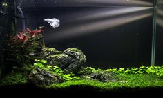 Very nice! I am loving the white Betta with the green plants and black background:)