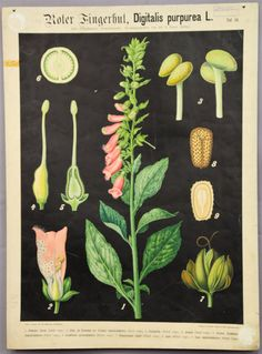 antique botanical wall chart ca.1900 lady´s glove e5425 #Vintage
