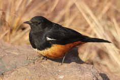 Mocking Cliff Chat, Myrmecocichla cinnamomeiventris --male-- at Marakele National Park, South Africa, via Flickr.