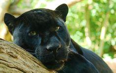Wallpaper Panthera onca, lies, look, predator, Panther, tree ...
