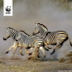 Erstaunlich! Forscher haben mithilfe der GPS-Technologie die längste Tierwanderung auf dem afrikanischen Kontinent entdeckt: Eine Herde von 2.000 Zebras zieht über 500 km (!) von Namibia nach Botswana. Das übertrifft alles, was je in Afrika dokumentiert wurde!