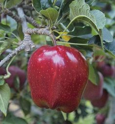 Red Delicious Apple fruit tree