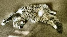 Kricket demonstrates the proper Maine Coon position for inviting belly rubs!