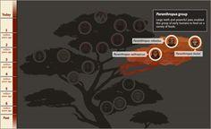 Human Family Tree   The Smithsonian Institution's Human Origins Program