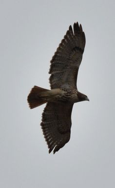 A red-tailed hawk sweeps through the skies above Caw Caw Interpretive Center in Ravenel, South Carolina.