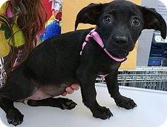 Meet Mirage, a very sweet 14 week old girl. She weighs 7 lbs and is wonderful with other dogs. Mirage is affectionate, loves car rides, and would love to share your bed!