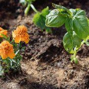 Κατιφές και βασιλικός στον κήπο Plants, Gardening, Marigold Flower, Basil, Flowers, Lawn And Garden, Interior, Plant, Planets