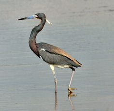 Tri-color Heron, also called Louisanna Heron, in breeding plumage complete with plume