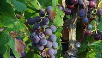 Muscadine Grapes -- Americas first grape, grown in the Southeastern United States -- higher source of antioxidants than regular grapes