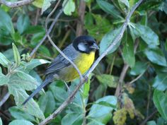 Santa Marta Brush-Finch
