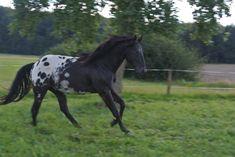 Rock Ranch, Gypsy Horse, Appaloosa Horses, Horse Photos, Palomino, Donkeys, Wild Horses, Zebras, American