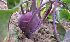 Easy tips to Growing Kohlrabi at home