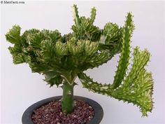 Euphorbia trigona f. Terrariums, Succulent Terrarium, Cacti And Succulents, Planting Succulents, Grafted Cactus, Succulent Images, Cactus Plante, Euphorbia Milii, Purple Plants